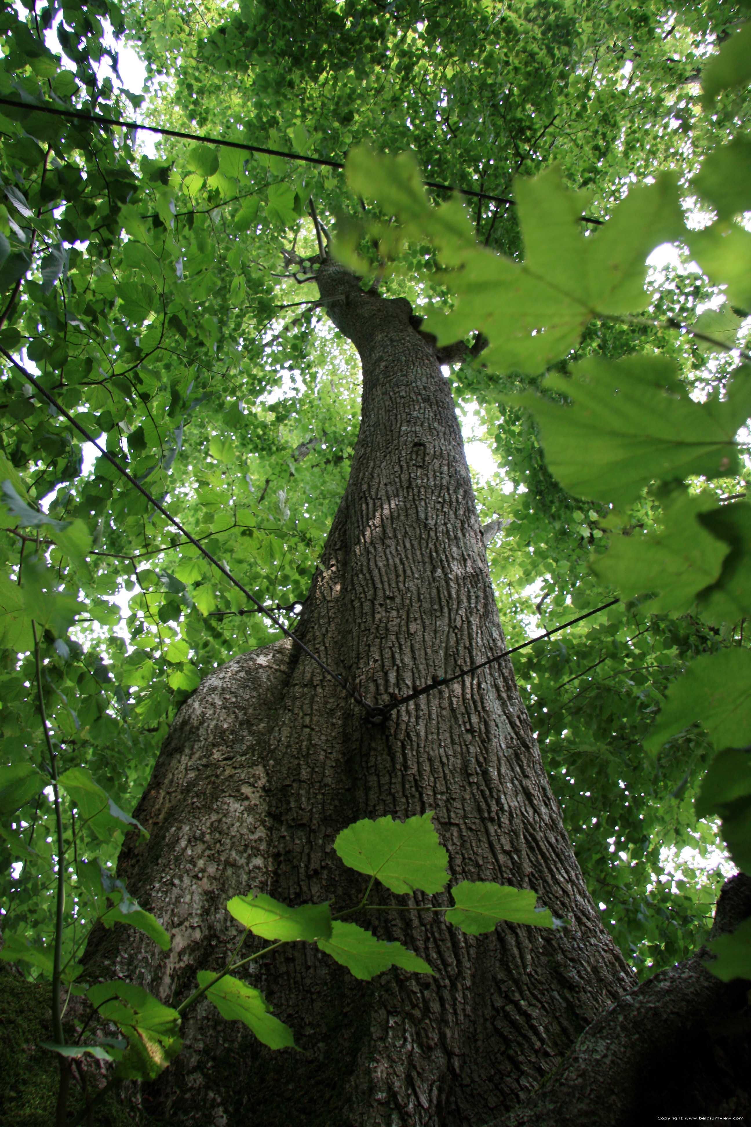 Baraque de conjoux tilleul grandes feuilles namur - Tilleul a grandes feuilles ...